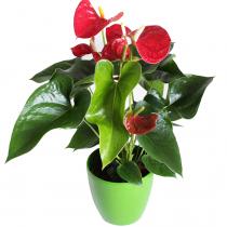 Fleurs de la Sagesse, Anthurium Lovers